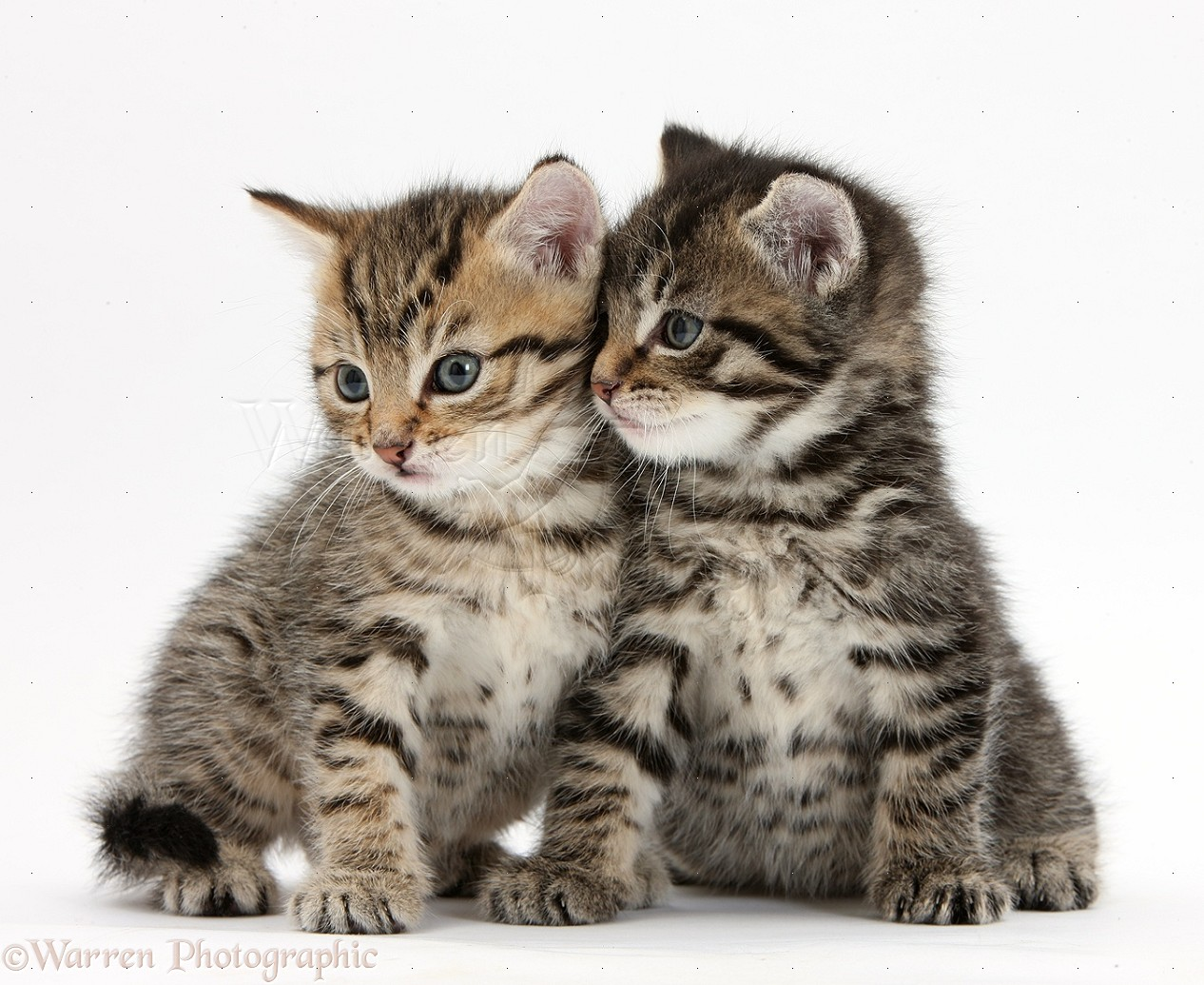 25  Adorable Cute Tabby Kittens