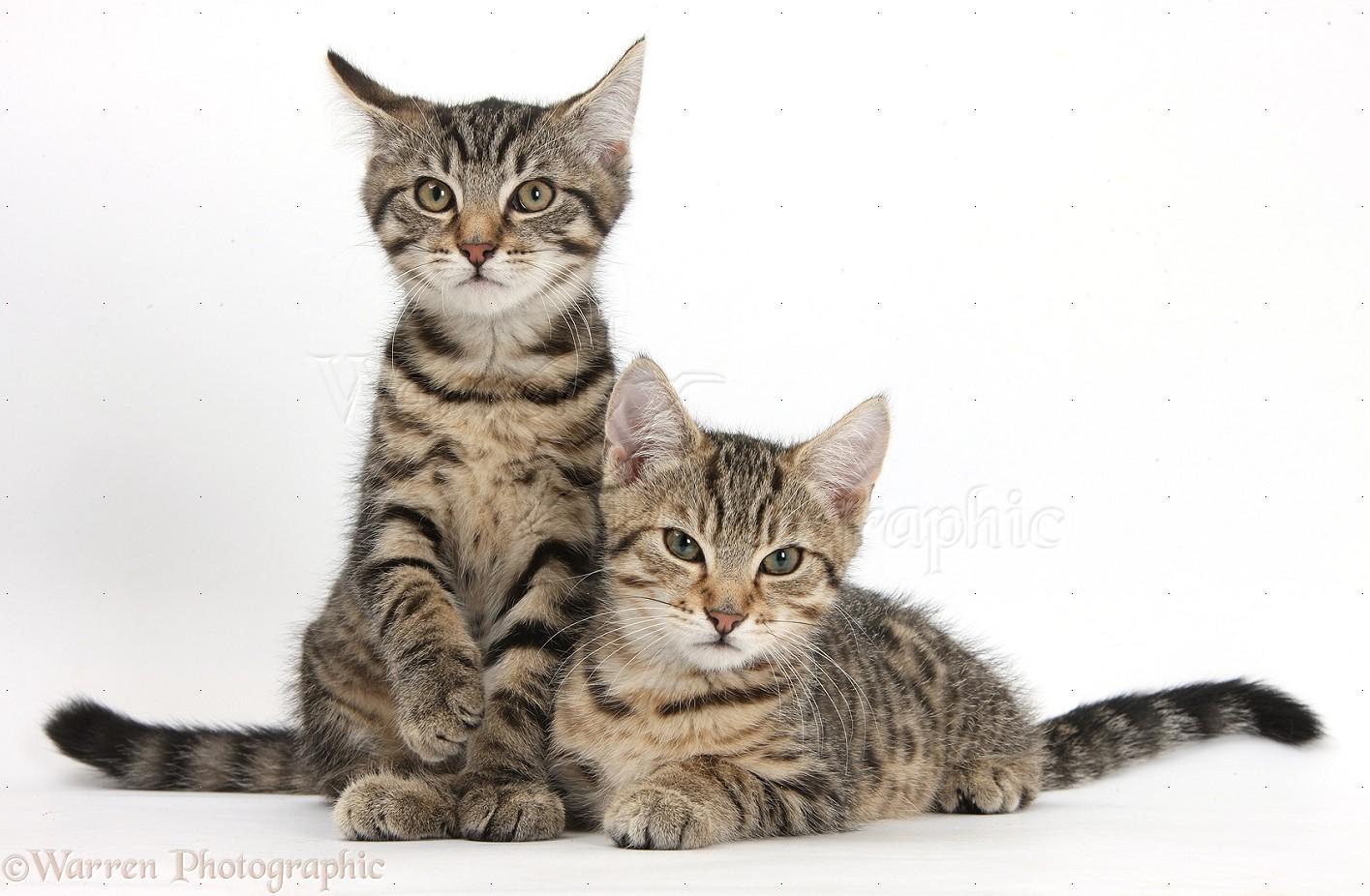 Black Mackerel Tabby Cat