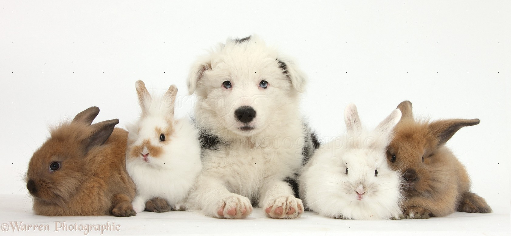 Pets Border Collie Pup With Baby Bunnies Photo Wp35750