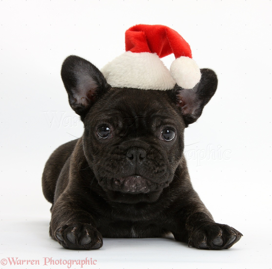 french bulldog hat dark brindle french bulldog pup wearing a santa hat photo 1788