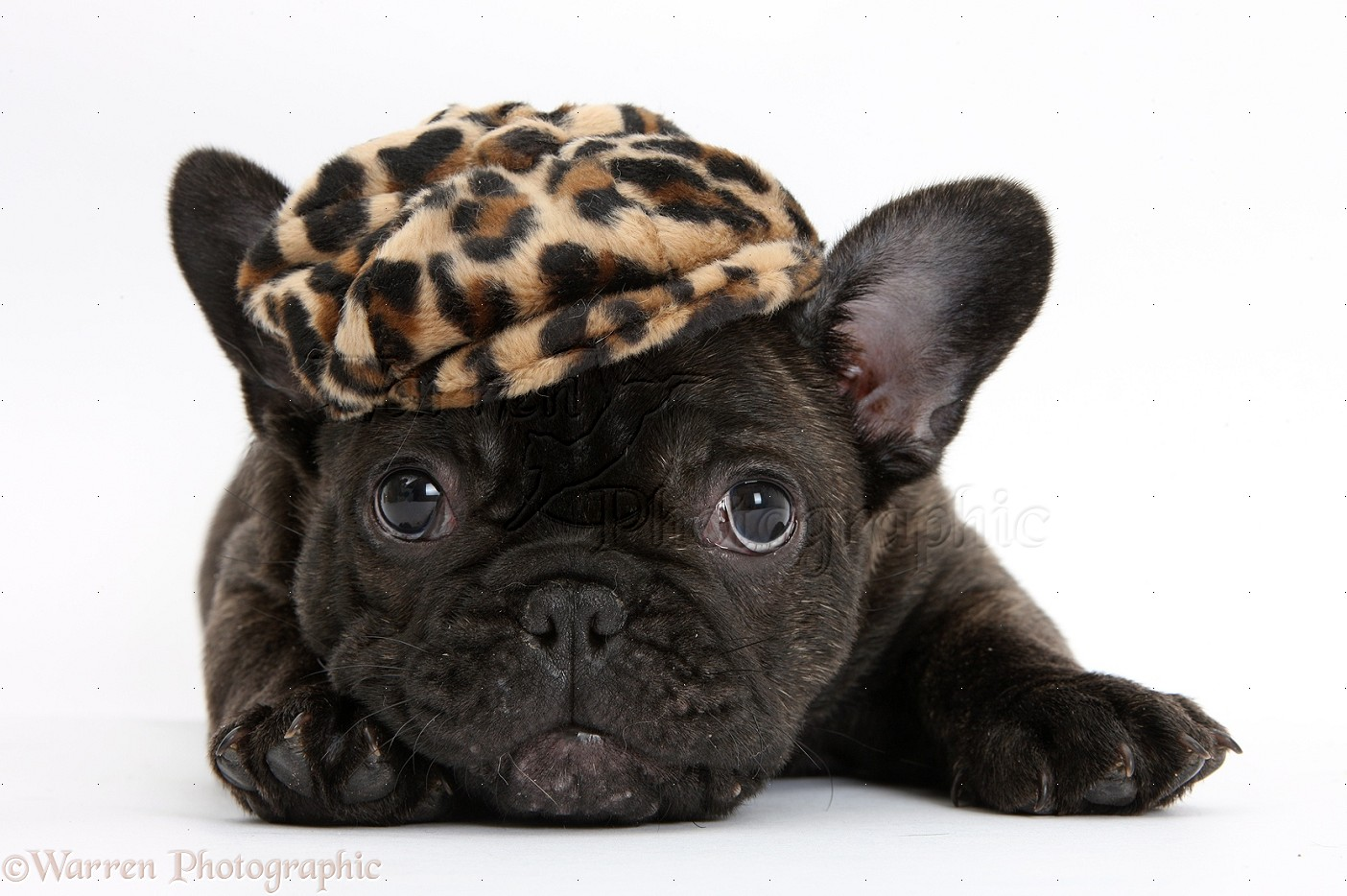 french bulldog hat dark brindle french bulldog pup wearing a hat photo wp35759 2413