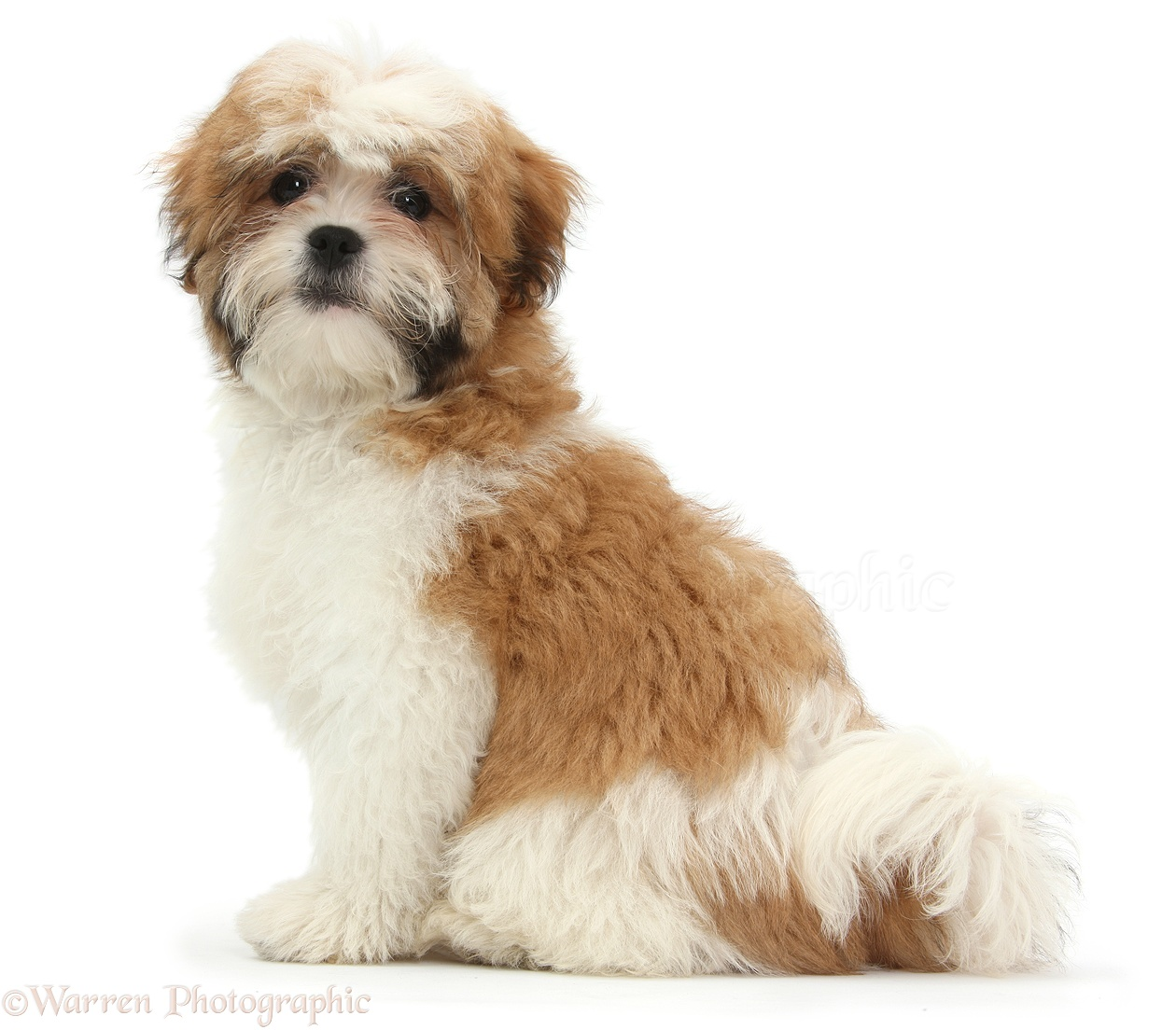 Beautiful black and white shih tzu maltese puppies malshi for sale