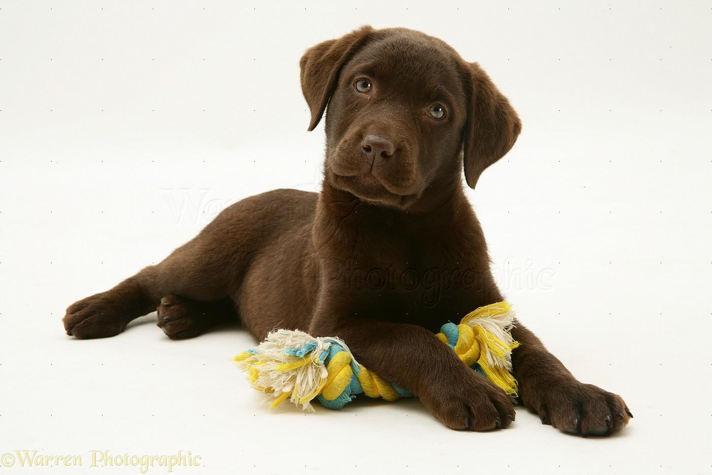 Chocolate Labrador Retriever Pup With Chocolate Birman Cross Kitten ...