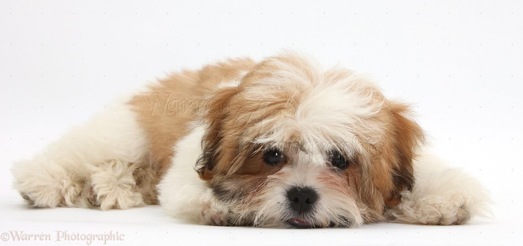 Dog Maltese X Shih Tzu Pup Photo Wp35825