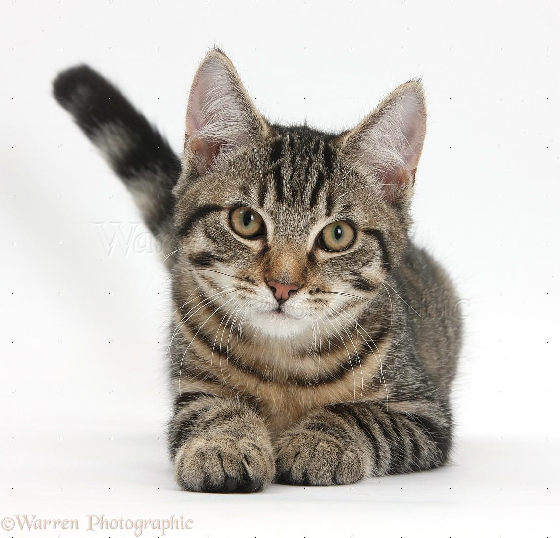 Tabby Cat Kitte... Tabby