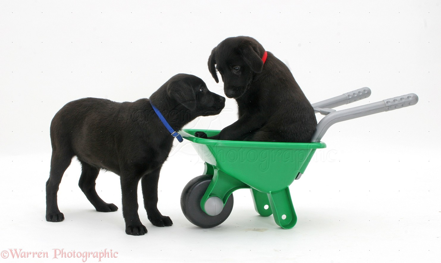 Wp35950 two black labrador retriever pups playing with a plastic toy
