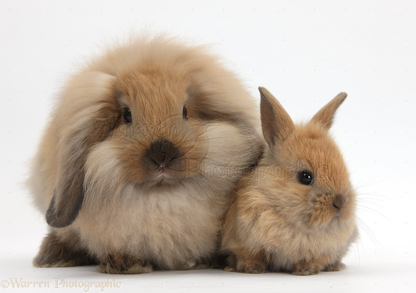 fluffy lionhead x lop rabbit and cute baby bunny photo wp35984