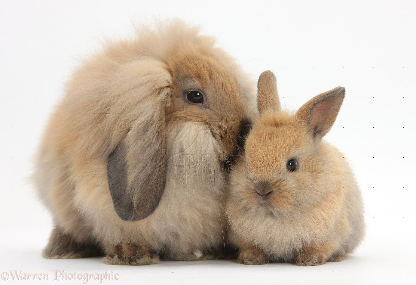 Fluffy Lionhead x Lop rabbit, and cute baby bunny photo ...
