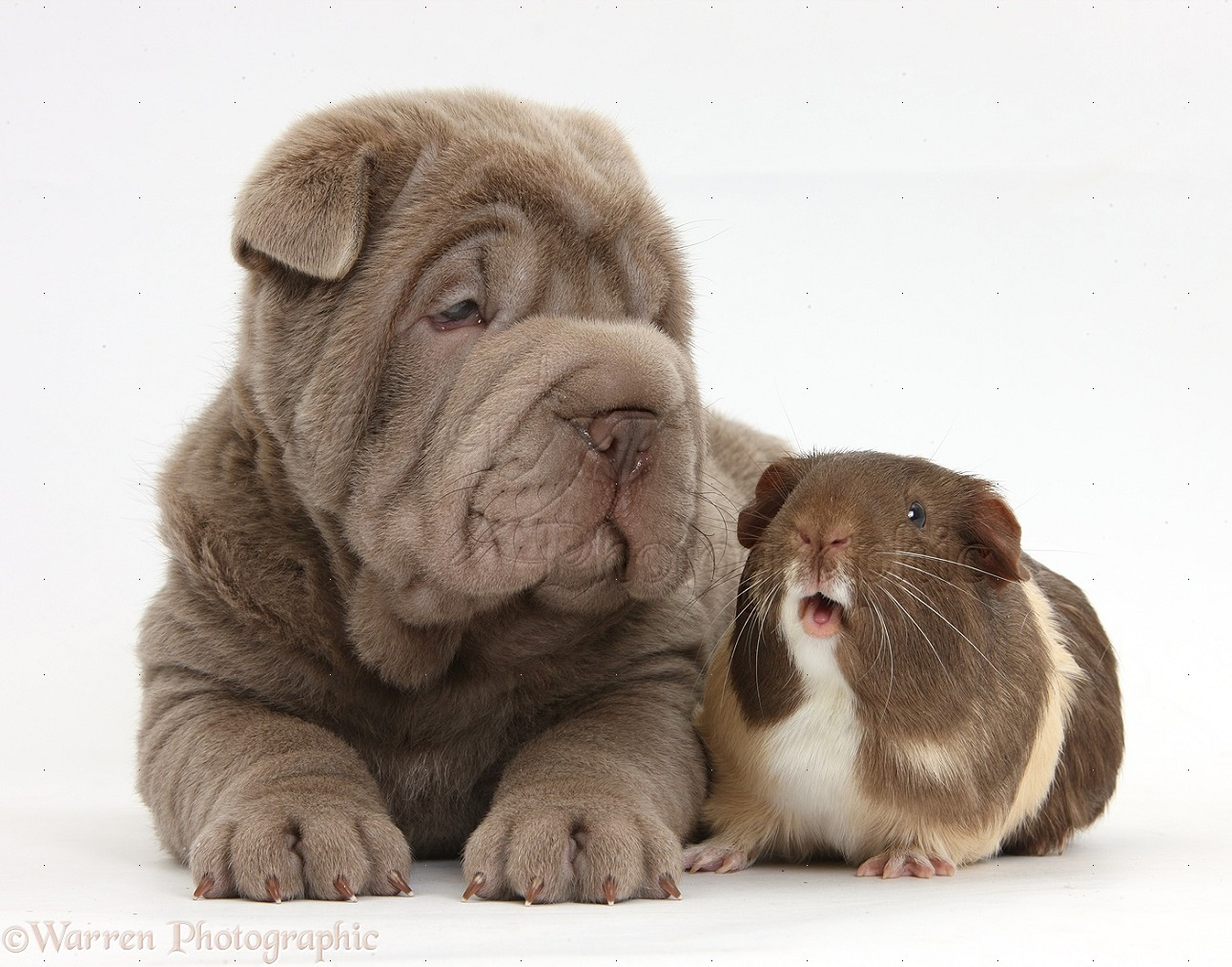 Pets Shar Pei Pup And Guinea Pig Photo Wp36014