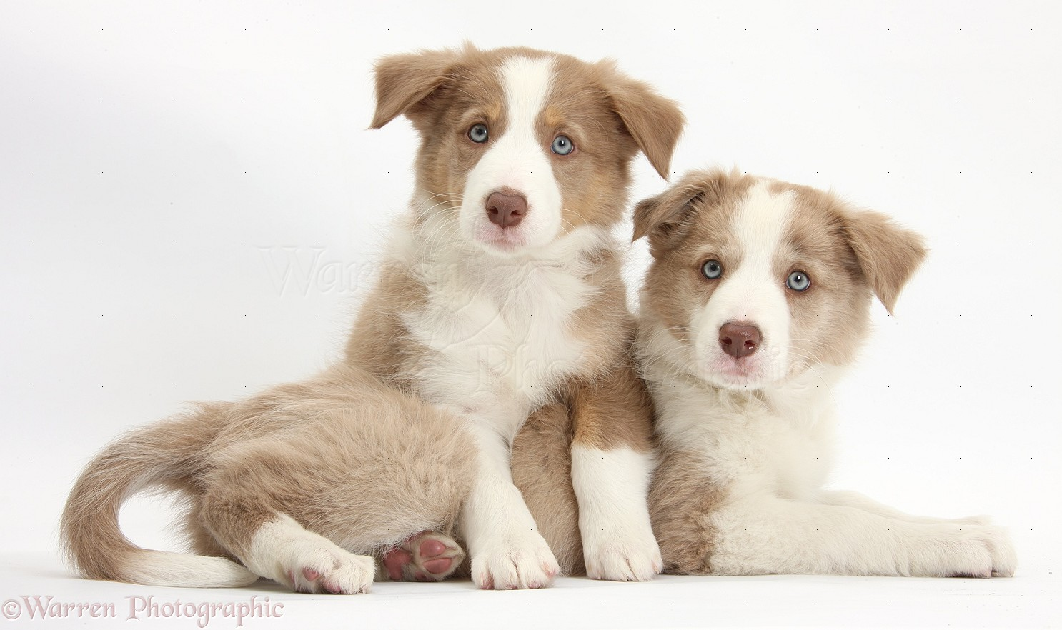 38572 Utonagan Watching Fireworks additionally 19819 Border Collie Pup 5 Weeks Old Sleeping besides 01524 Cute Border Collie Puppy as well 14167 Long Haired Weimaraner Dog Trotting Across furthermore Border Collie Lanyard Key Holder Badge Holder. on border collie