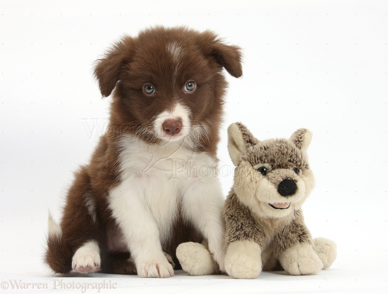 Dog: Chocolate Border Collie pup and wolf soft toy photo - WP36039