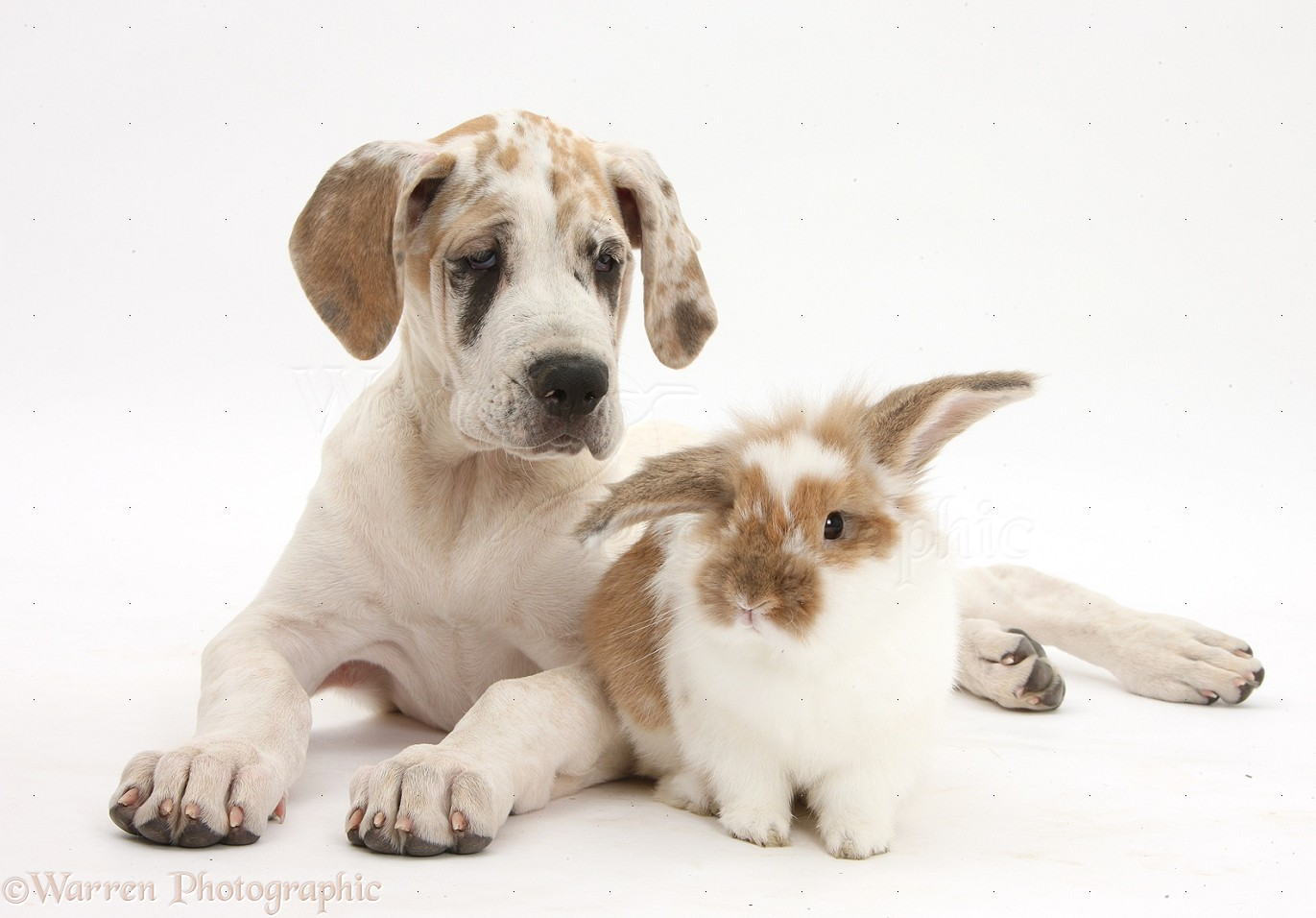 Great Dane Puppy With Bunny Great Dane Puppy Great Dane Puppy