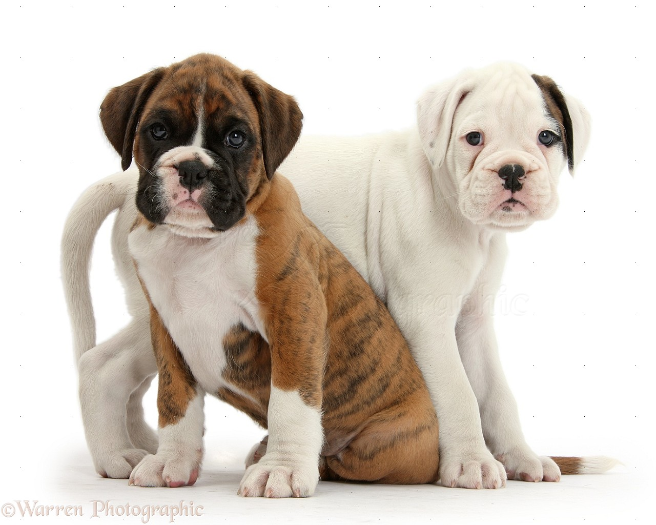 Dogs Two Boxer Puppies Together Photo Wp36051