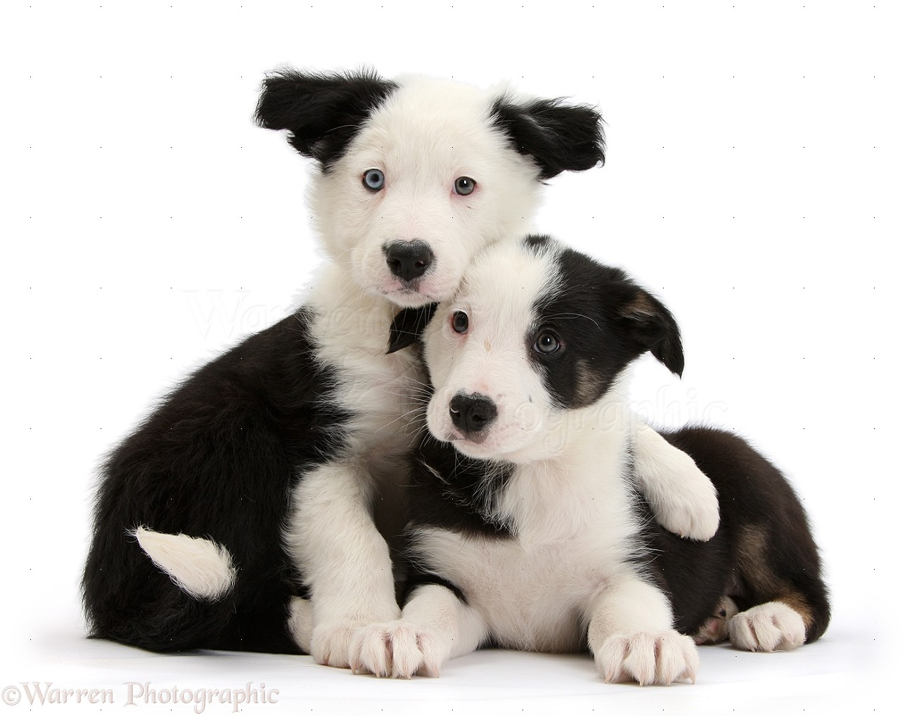 Dogs: Two black-and-wh...