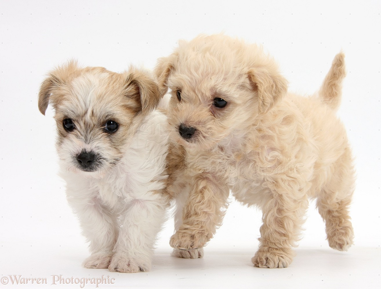 WP36076 Bichon Frisé x Yorkshire Terrier pups, 6 weeks old.