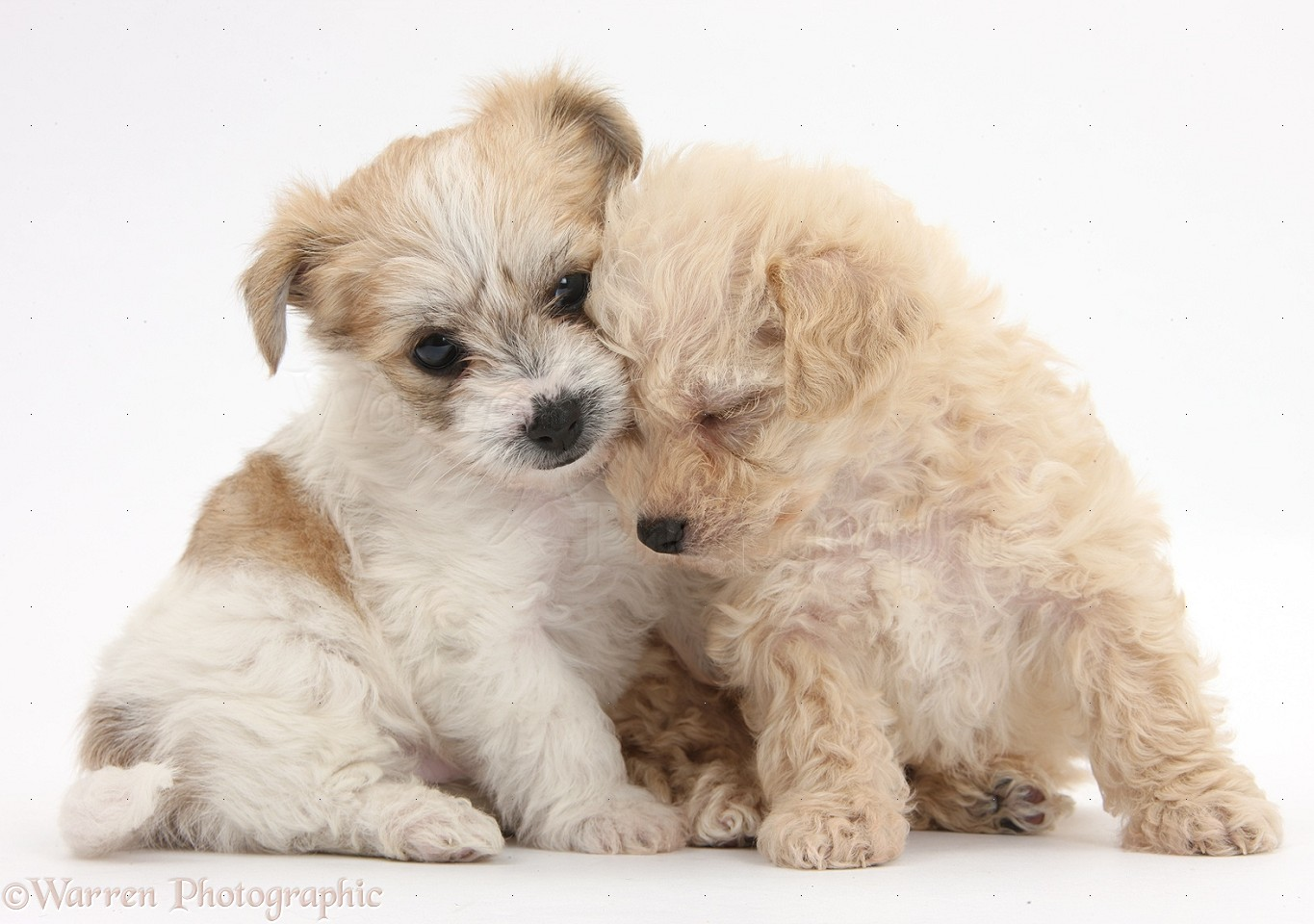 WP36077 Two cute sleepy Bichon Frisé x Yorkshire Terrier pups, 6 ...