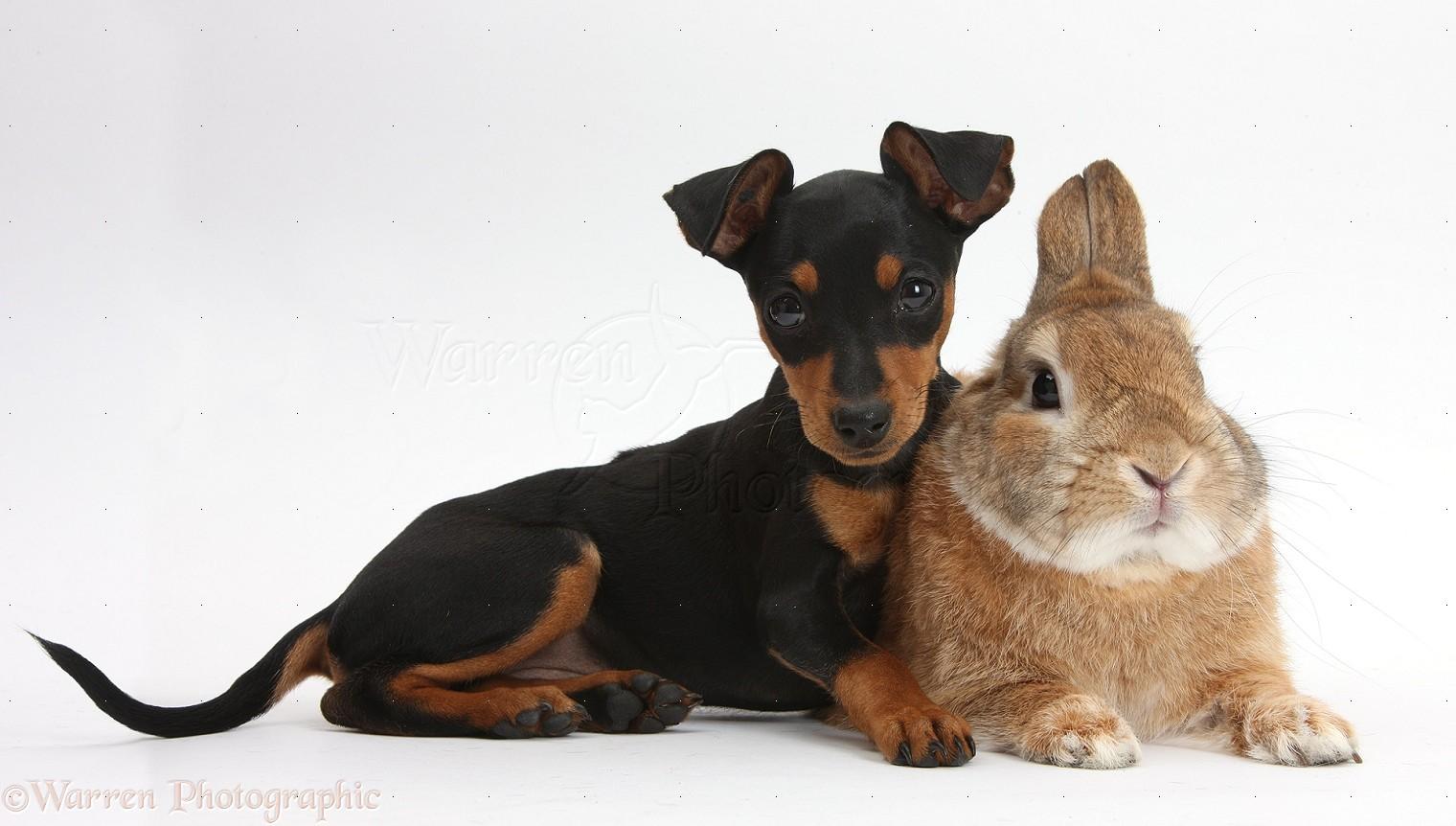 Pets Miniature Pinscher Puppy And Rabbit Photo Wp36114