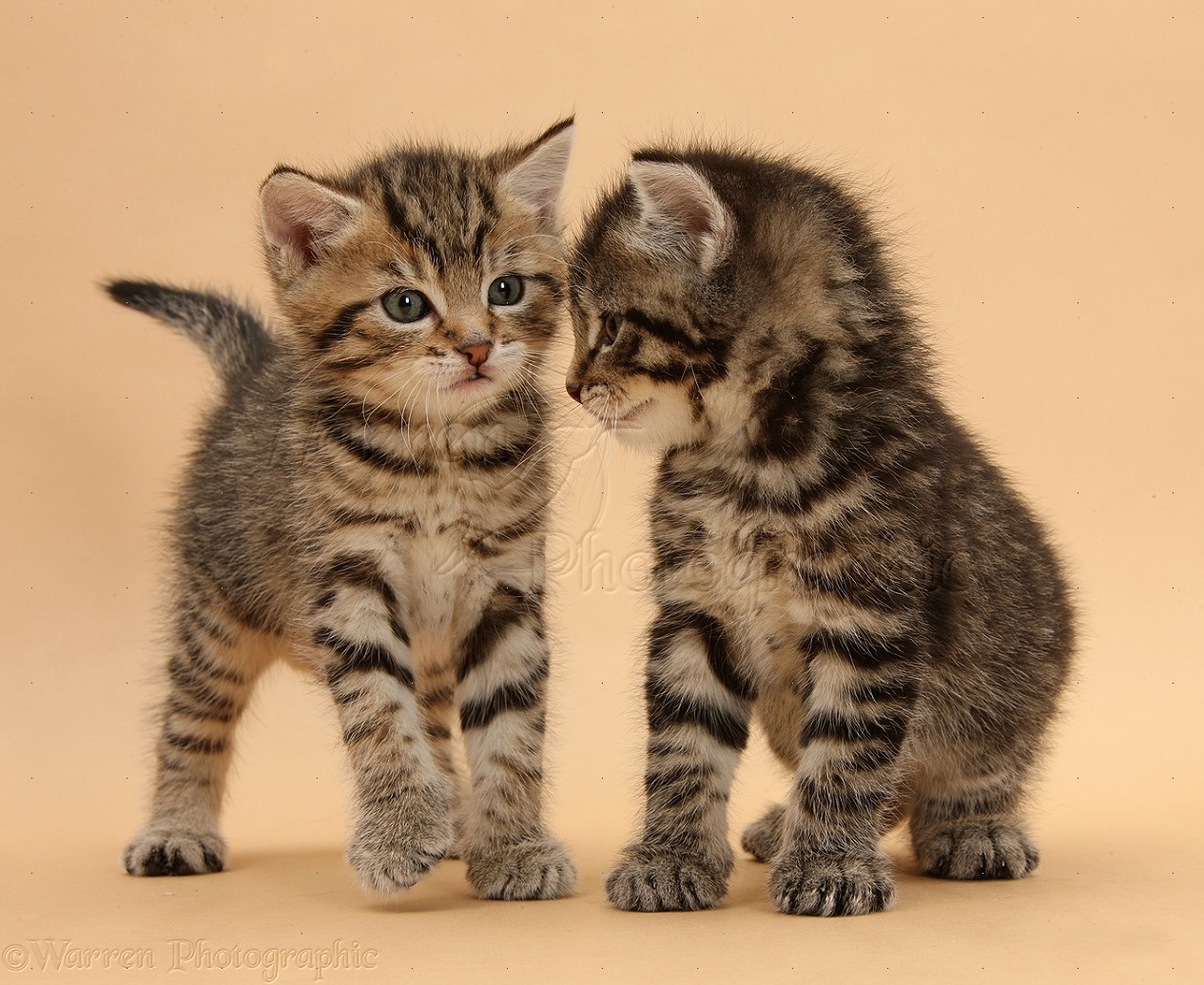 Two cute tabby kittens on beige background photo WP