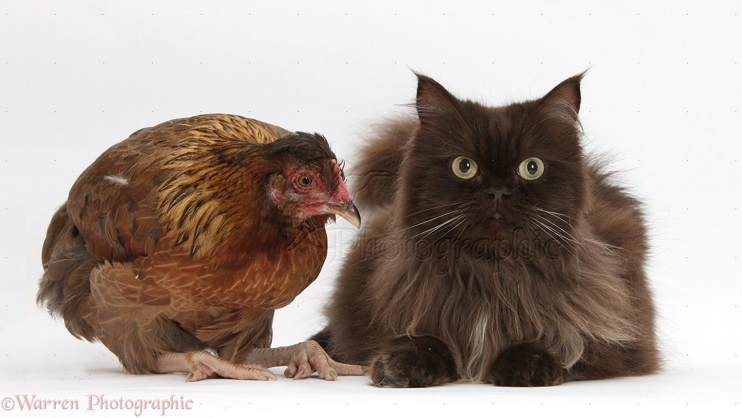 Cats & Kittens - Moggies, cross-breeds