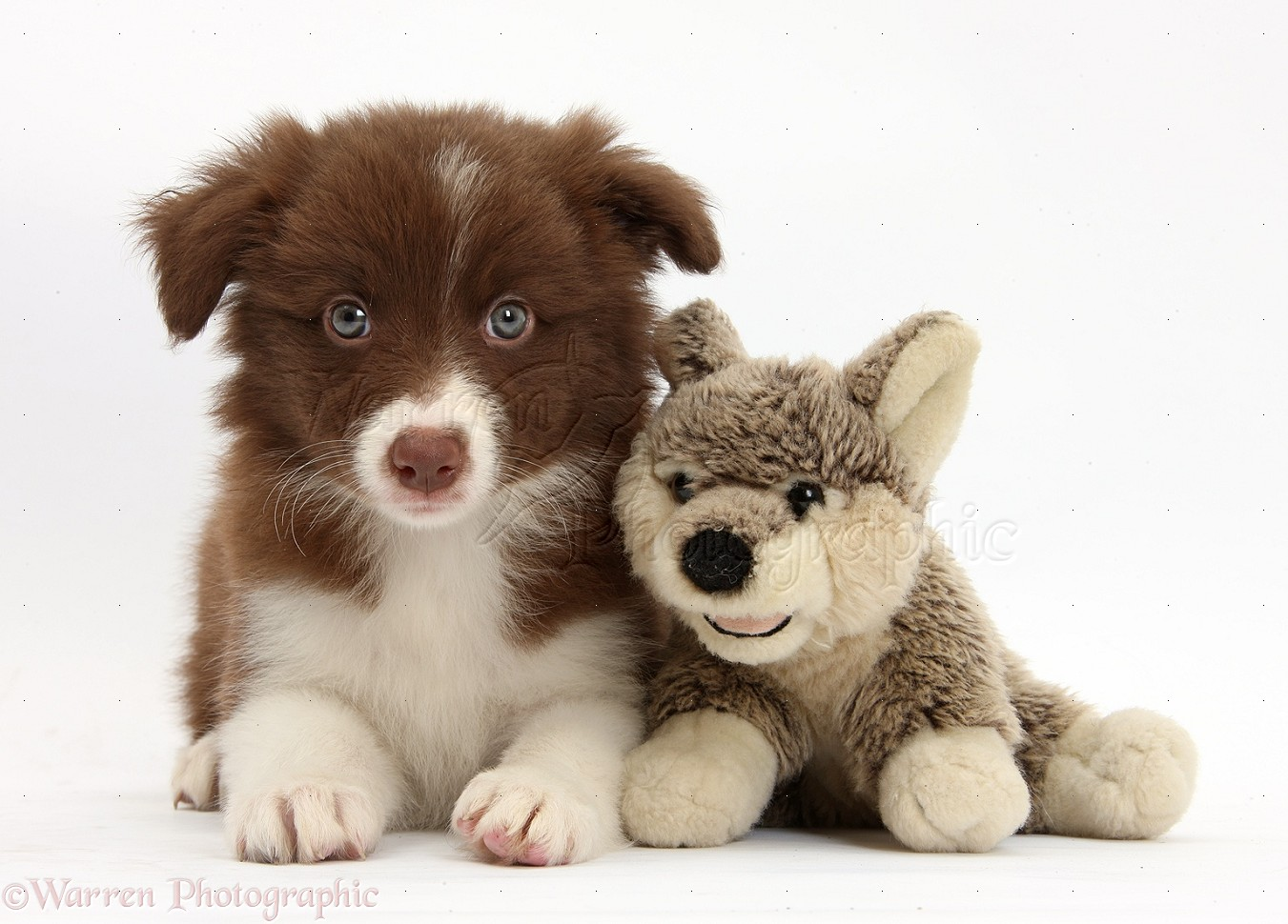 Dog: Chocolate Border Collie pup and wolf soft toy photo - WP36136