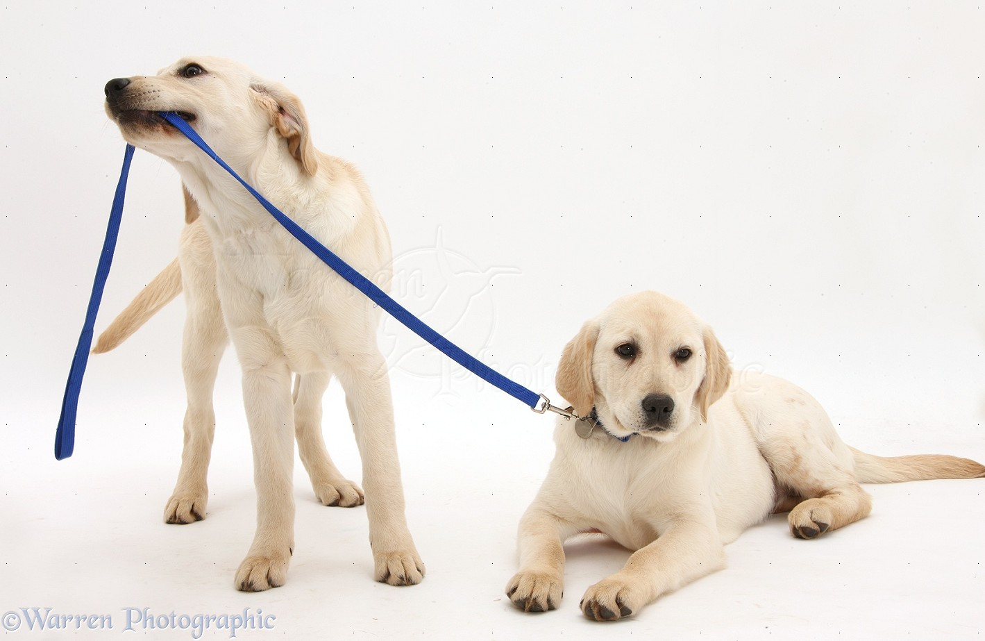 Dogs Yellow Labrador Retriever Pups 4 Months Old Photo Wp36172