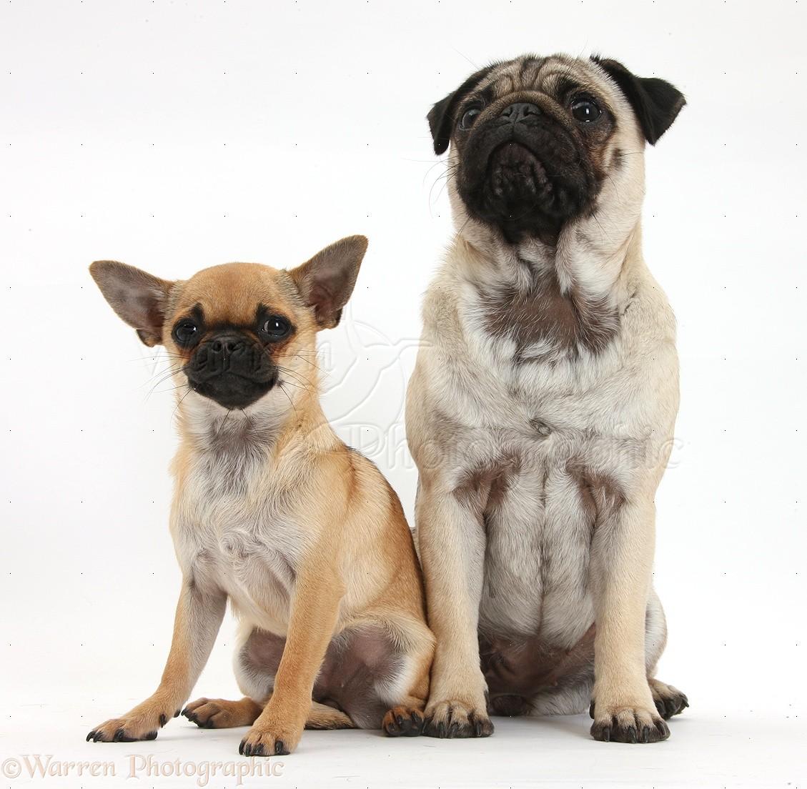 Chug Dog for Pinterest