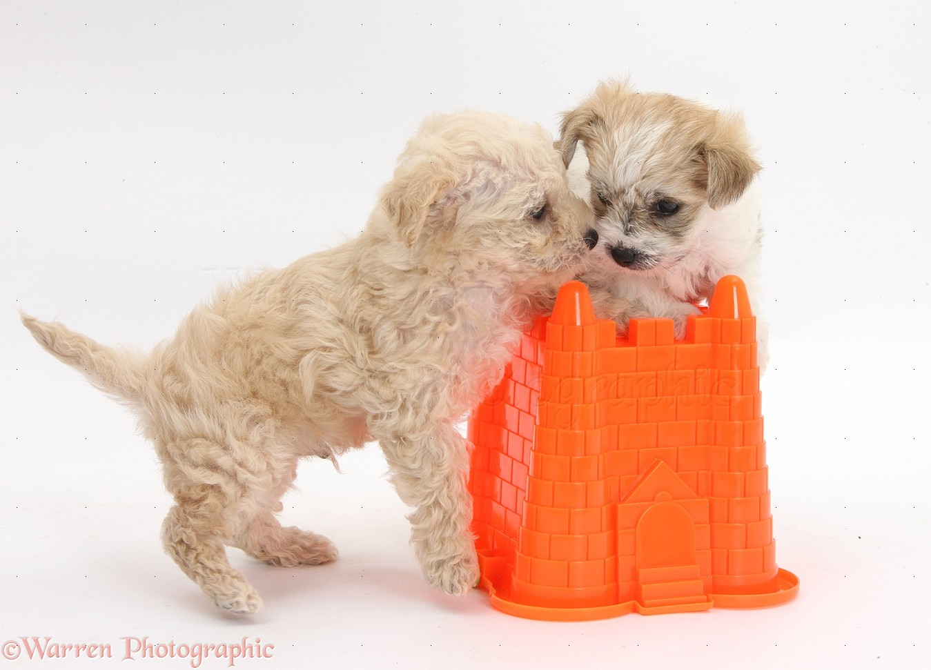 Dogs: Cute Bichon x Yorkie pups playing with a bucket ...
