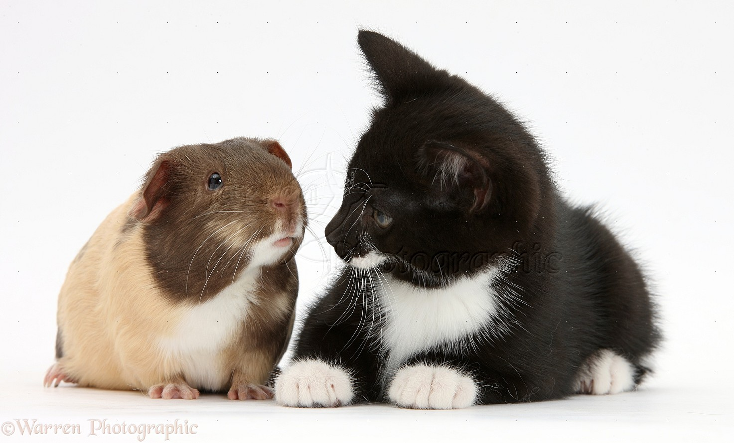housing adult male guinea pigs together