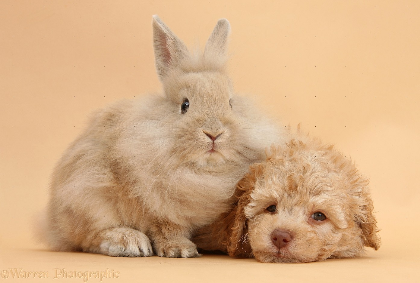 Toy Labradoodle Puppy And Lionhead Cross Rabbit On Beige Background