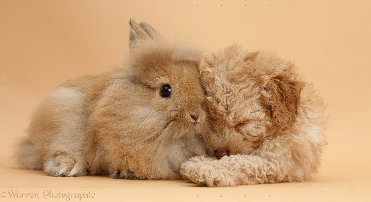 Pets: Sleepy Toy Labradoodle puppy and fluffy bunny photo ...