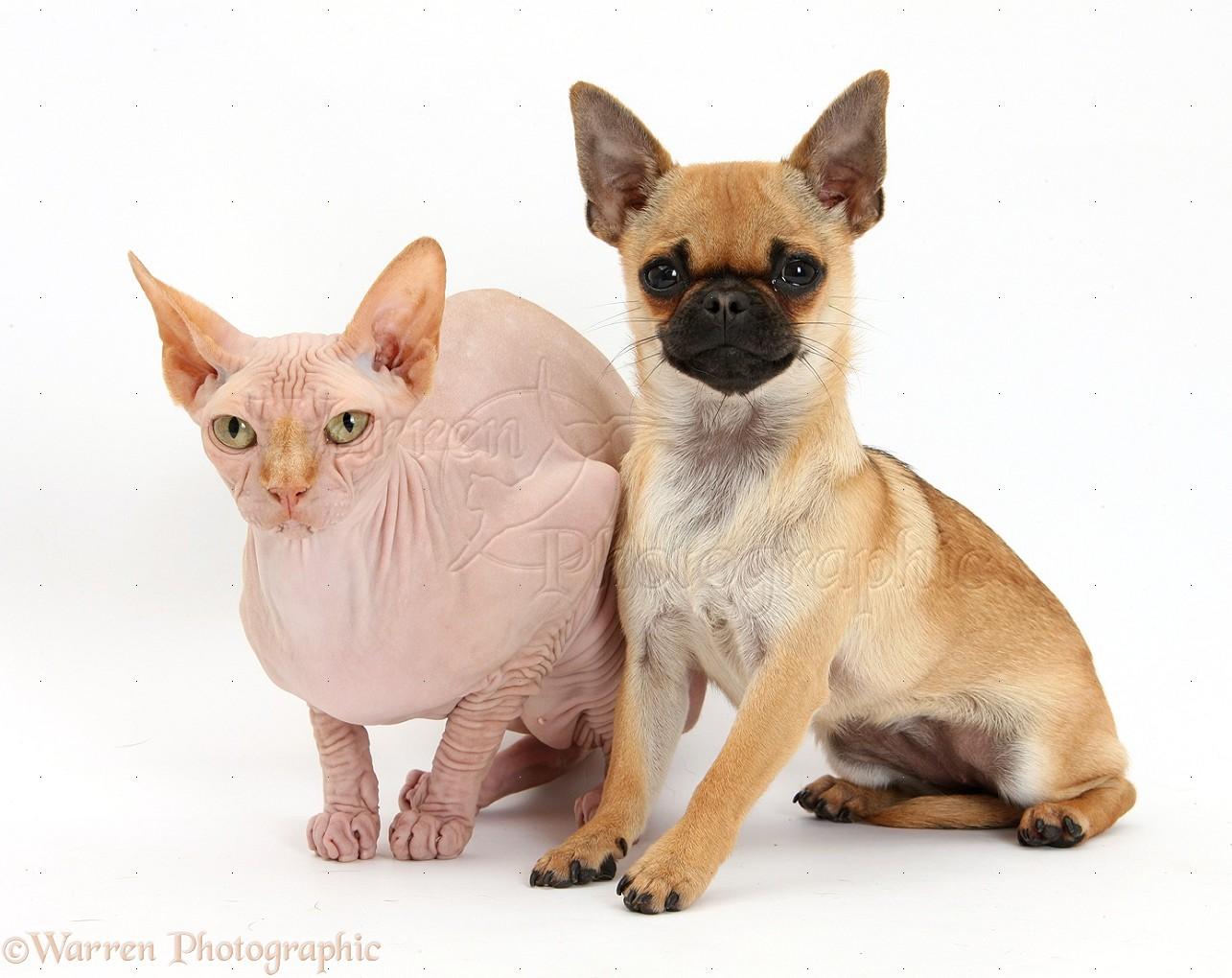 WP36299 Chug (Pug x Chihuahua) bitch and Sphinx cat.
