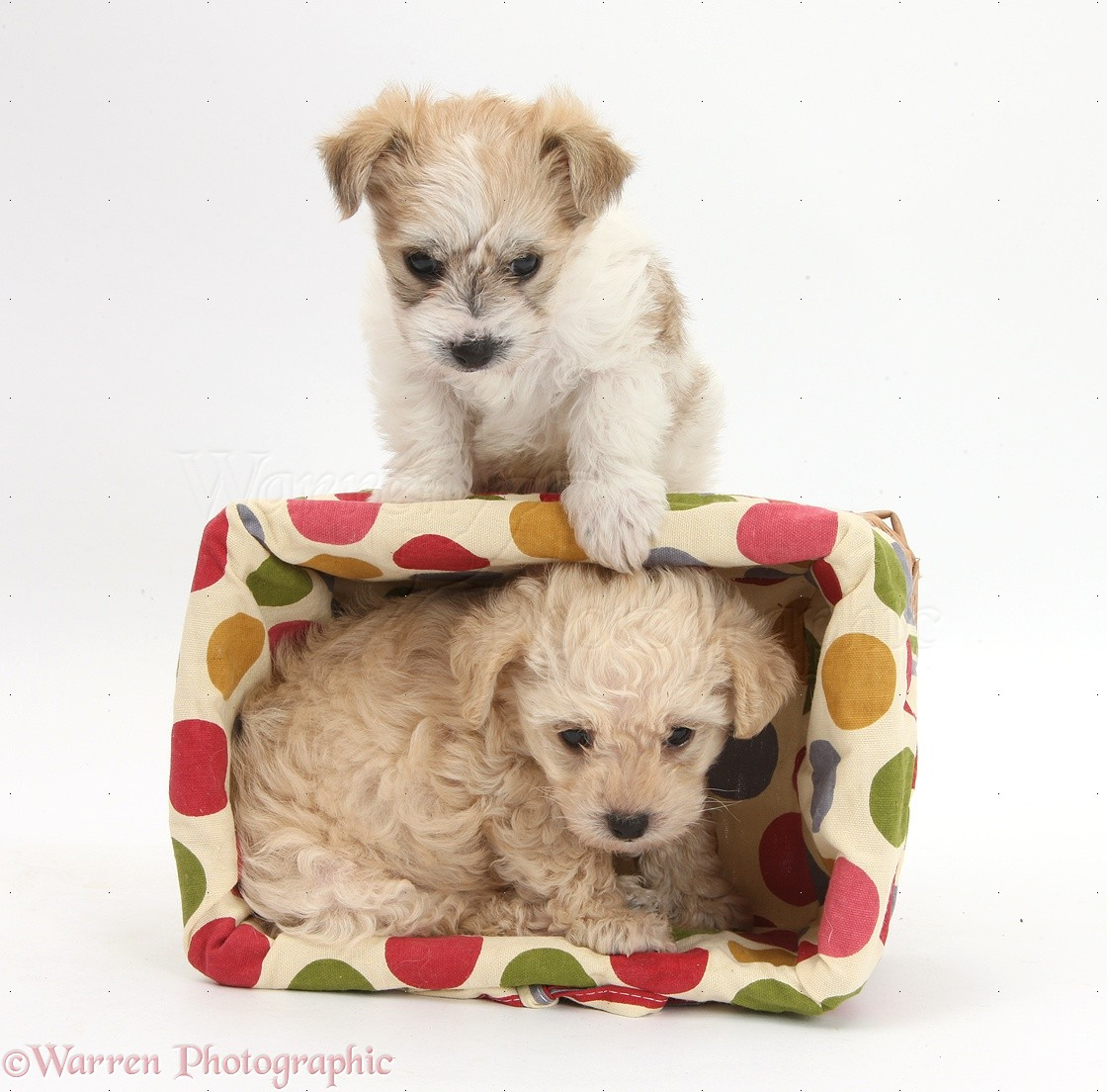 Cute Yorkie Bichon Puppies