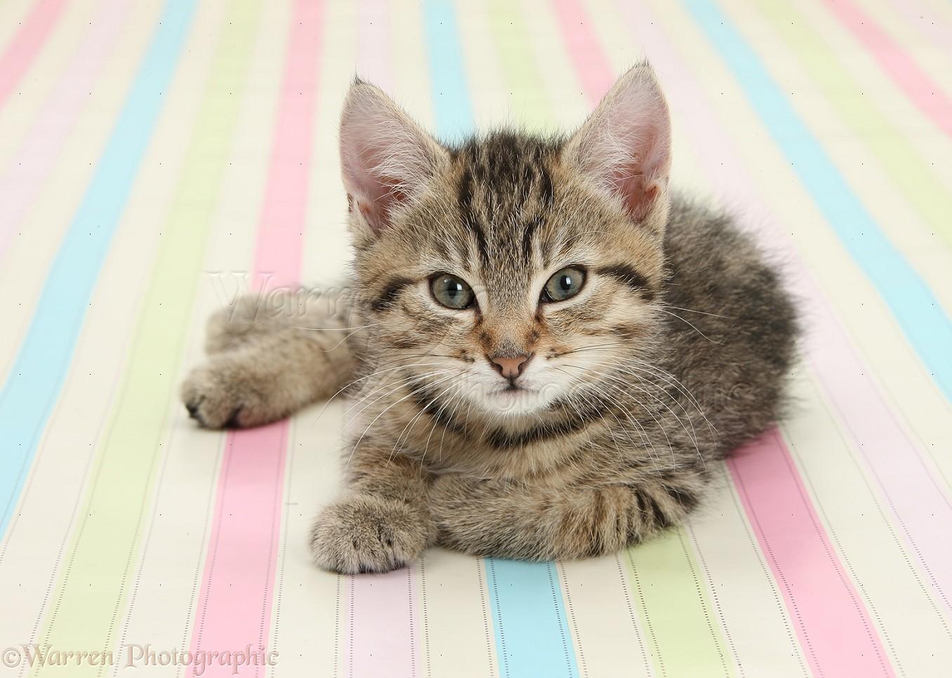 36431 Cute tabby kitten sitting on stripy background