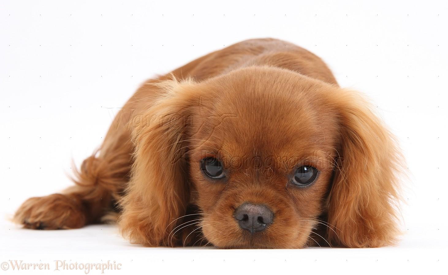 Black Cavalier Dog