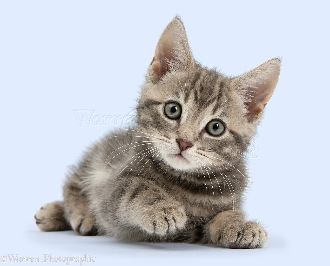 36522-Tabby-kitten-white-background.jpg