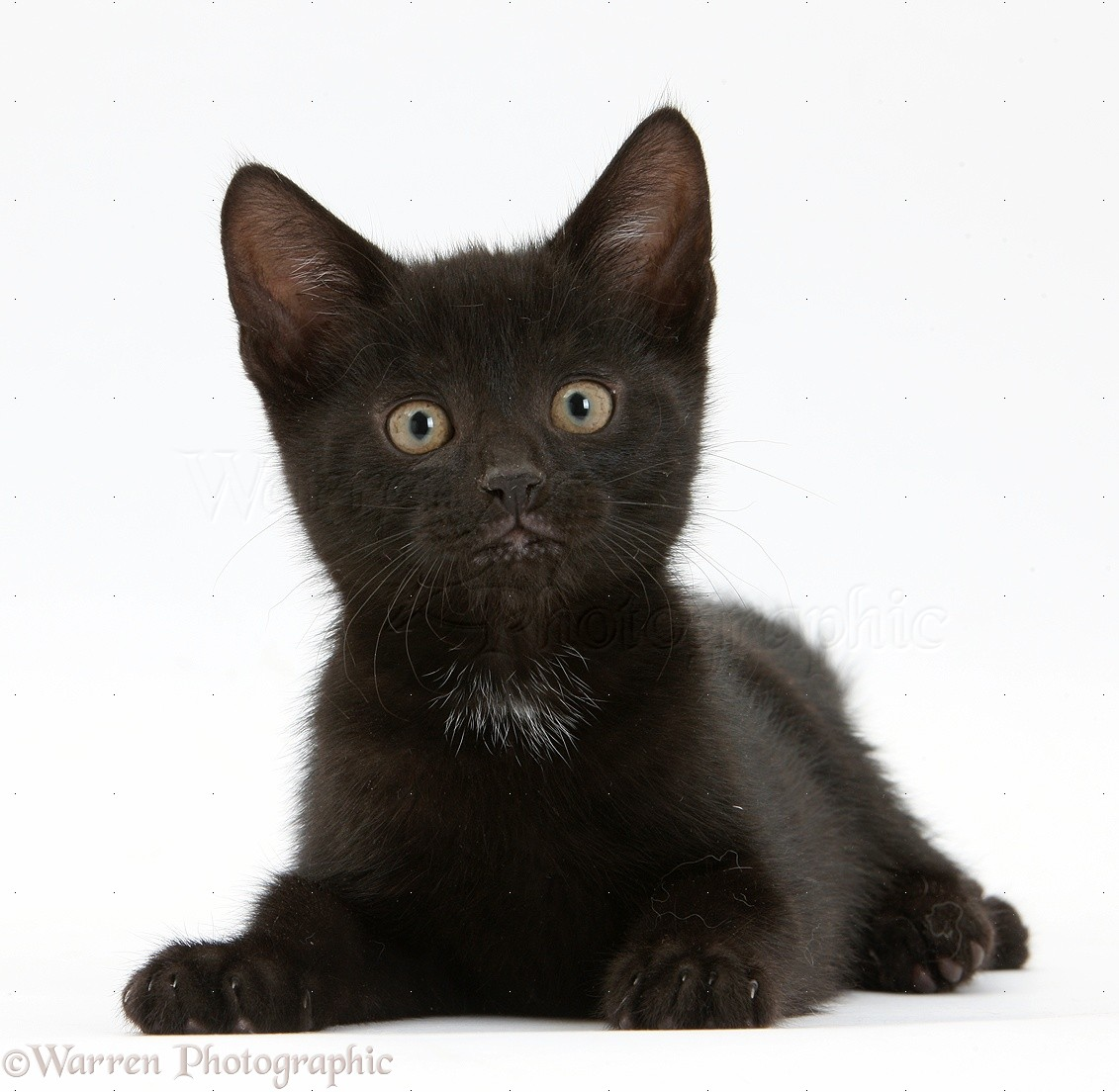 Black Kittens 99