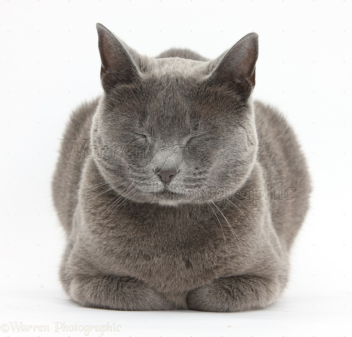 ... russian blue cat on white background royalty free stock photo russian