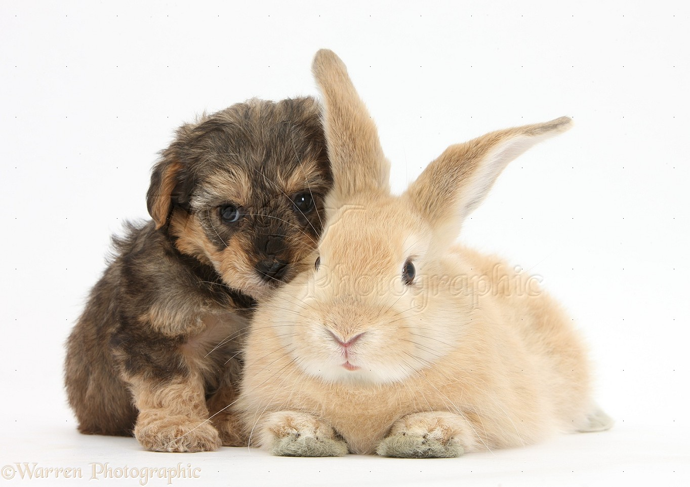 pets yorkipoo pup 6 weeks old with sandy rabbit photo