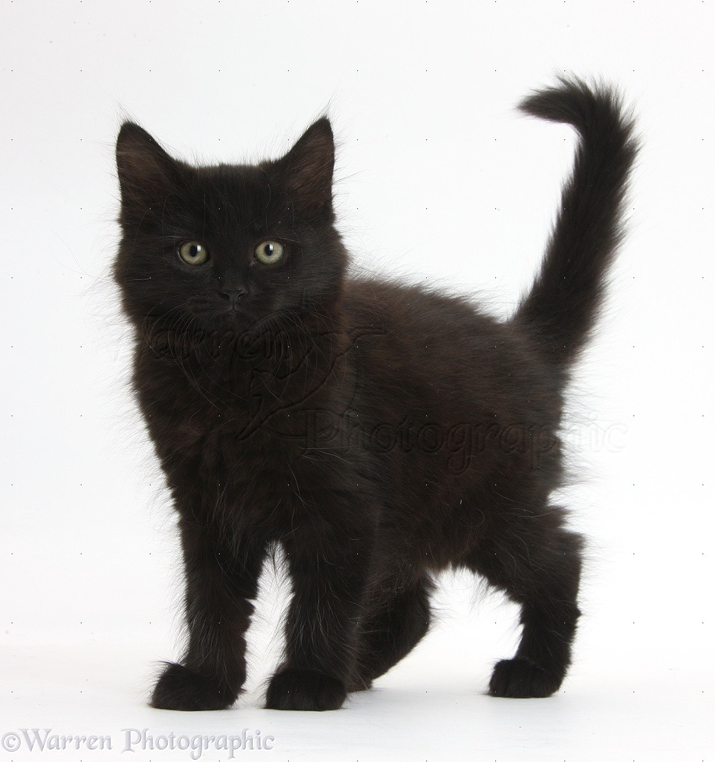 Black White Fluffy Cat Breed