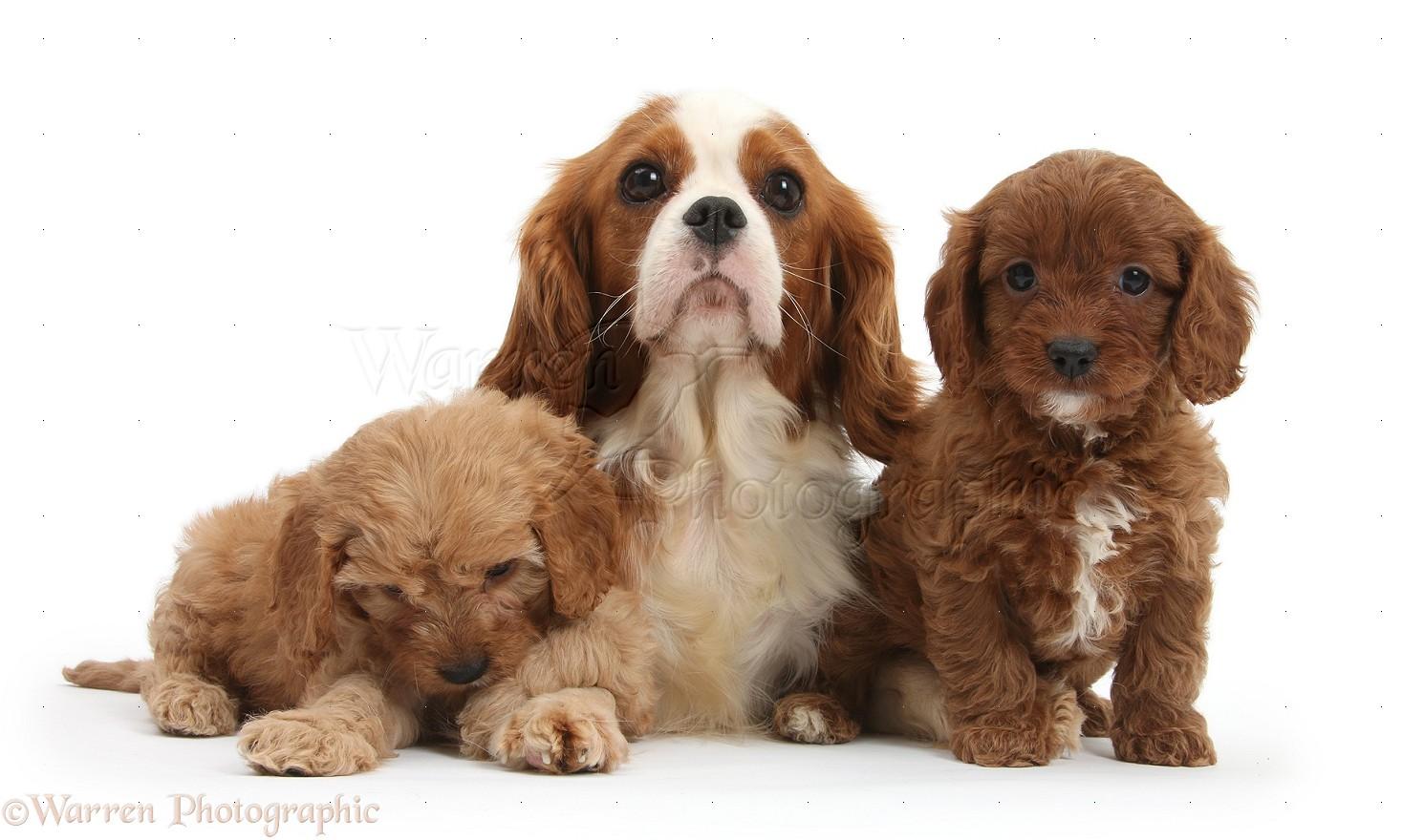Miniature Spaniel Dog Breeds