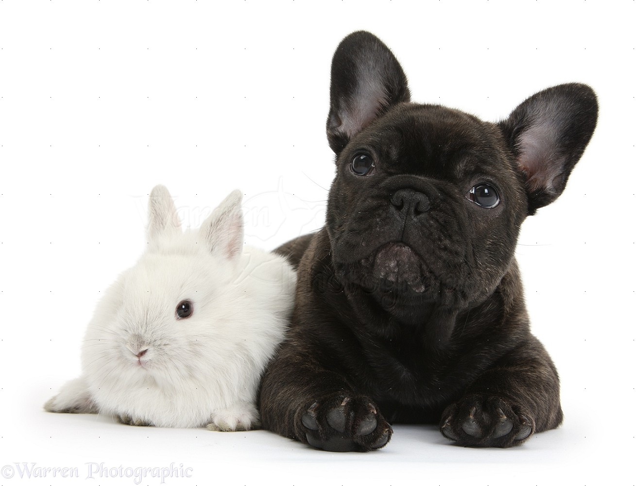 Pets French Bulldog Pup And White Bunny Photo Wp36644