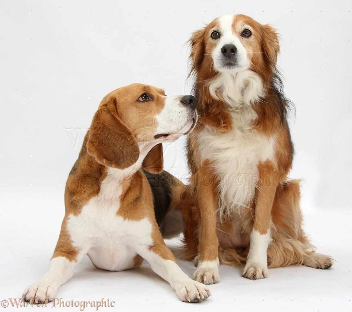 ... Blue Heeler Mix Puppies For | Dog Breeds ... Border Collie Blue Heeler