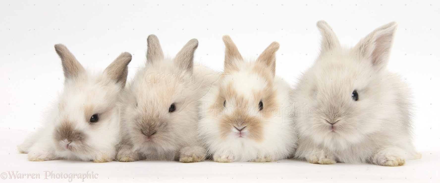 four baby lionhead x lop bunnies in a row photo wp36677 rabbits verlag rabbits in australia