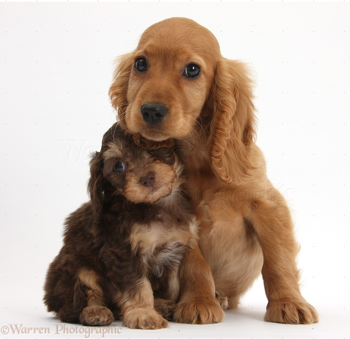 Dogs Cute Daxiedoodle And Golden Cocker Spaniel Puppies Photo Wp36705