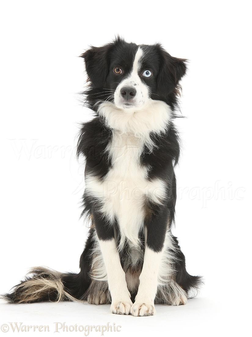 Wp36718 black and white miniature american shepherd dog mac 19 months old sitting