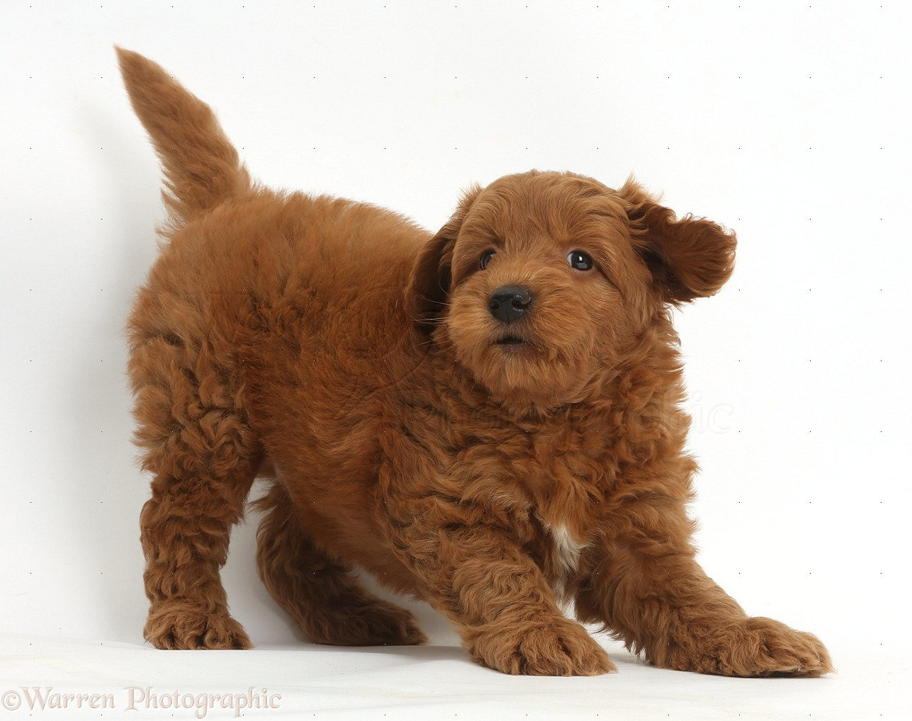 Red goldendoodle red f1b goldendoodle puppy