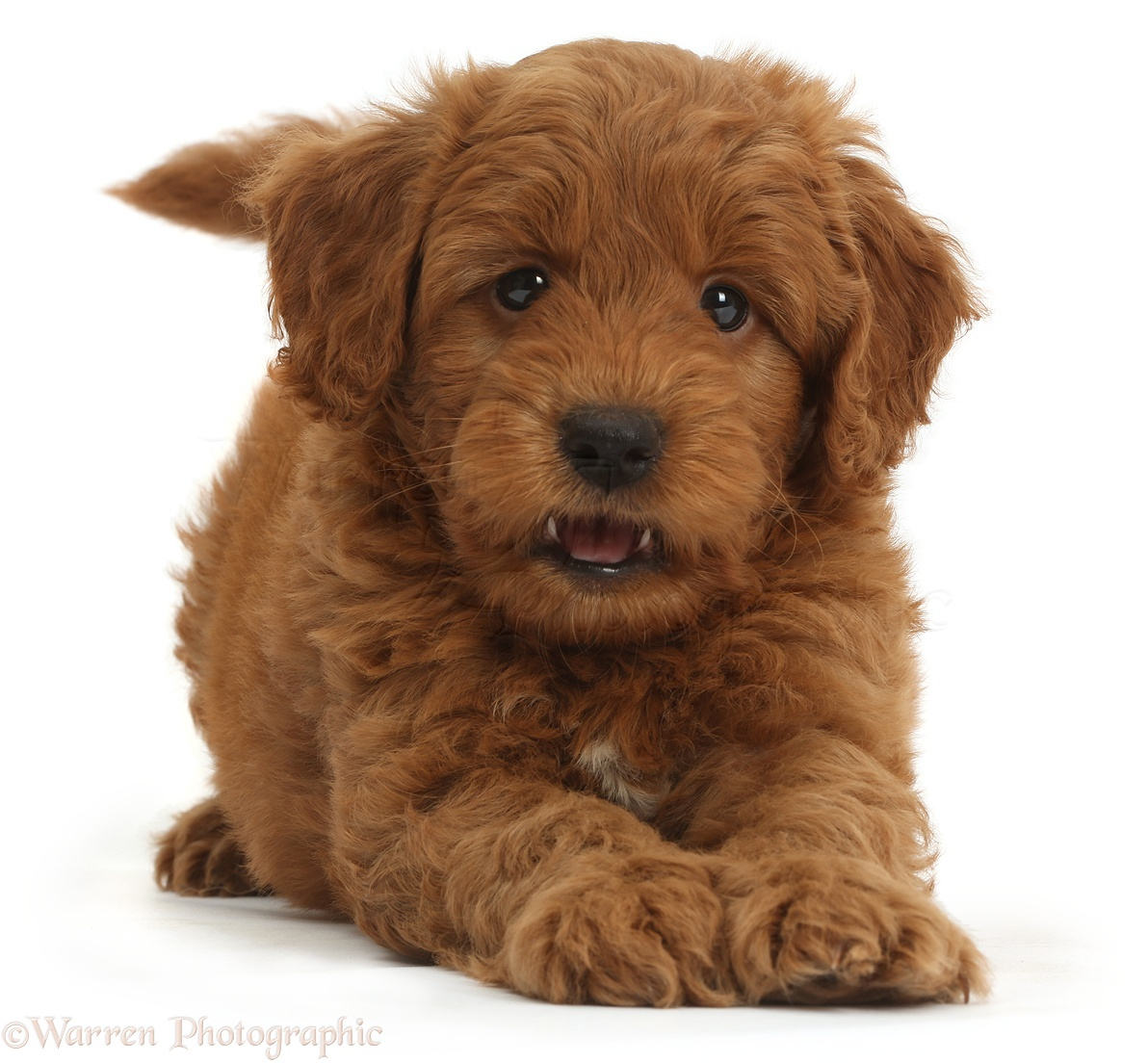 Dog Cute Playful Red F1b Goldendoodle Puppy Photo Wp36749