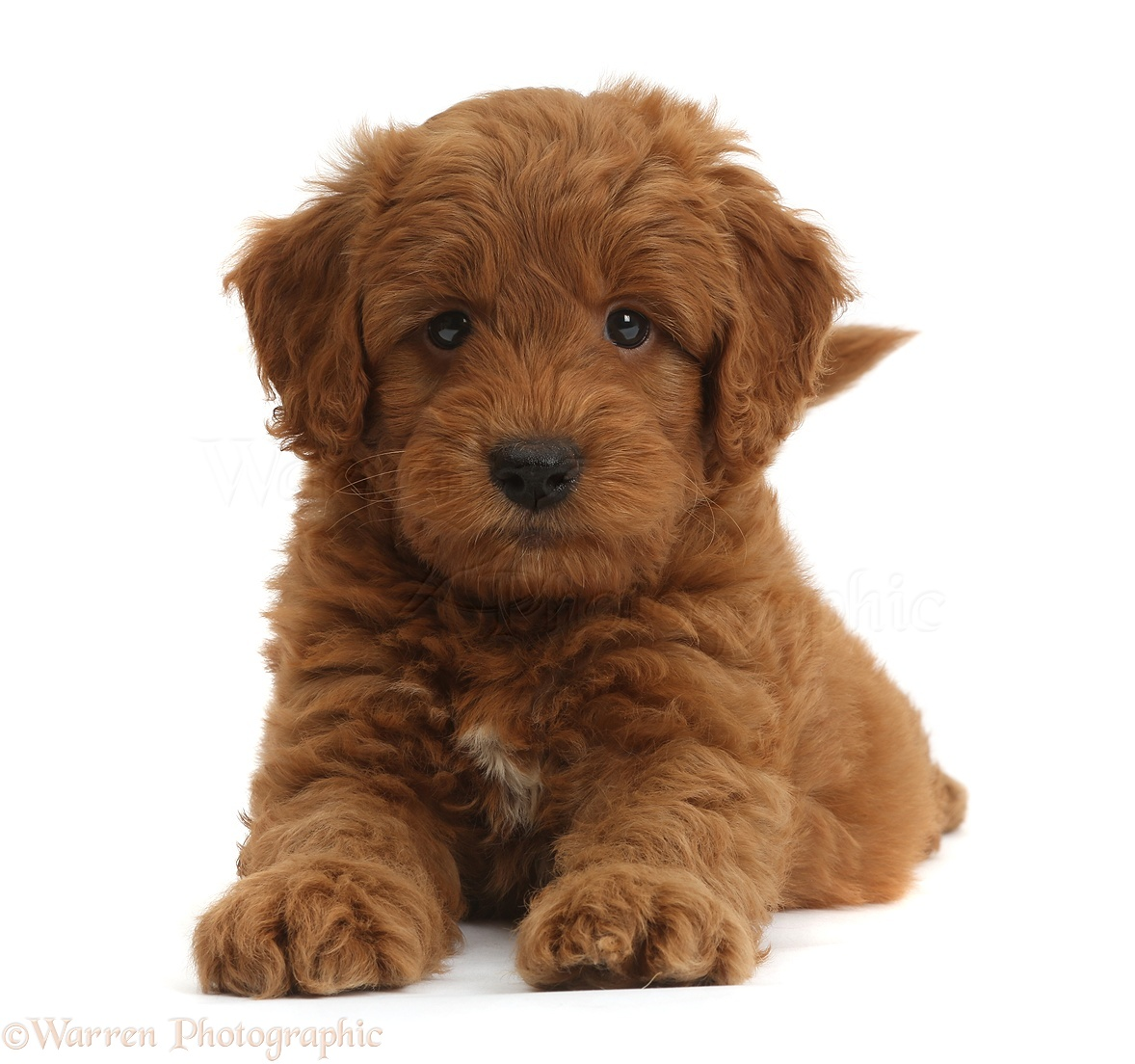 Dog Cute Playful Red F1b Goldendoodle Puppy Photo Wp36751