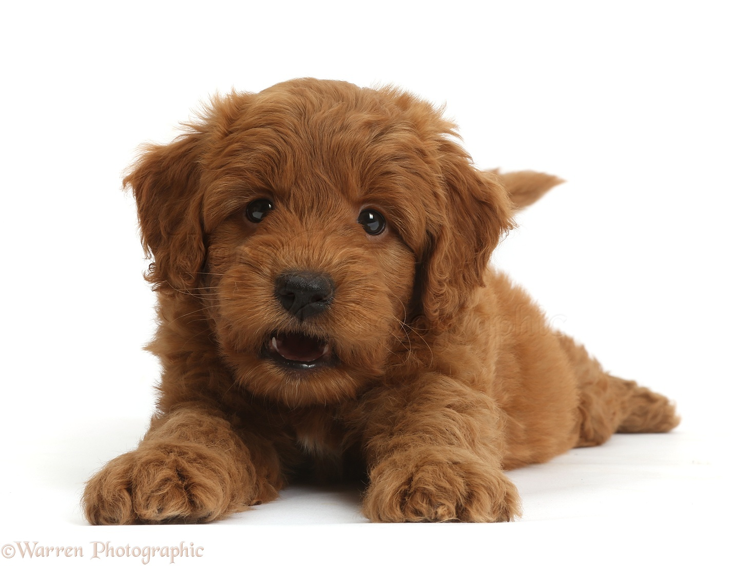 Wp36752 cute playful red f1b goldendoodle puppy