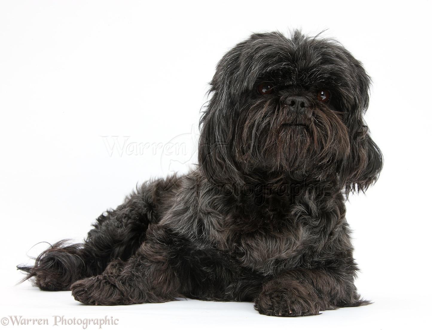 Black Shih Poo Dogs